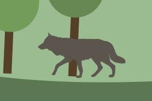 Jak zachowywać się w sąsiedztwie wilków?